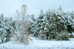 New Year tree in winter forest. Beautiful winter landscape with snow covered trees. Trees covered with hoarfrost and snow. Beautif Stock Photography