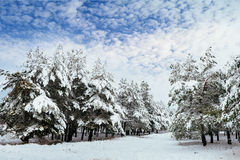 New Year tree in winter forest. Beautiful winter landscape with snow covered trees. Trees covered with hoarfrost and snow. Beautif Stock Images