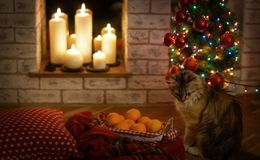 New Years and Christmas lights. Cat watching New Years and Christmas lights and candles stock photography