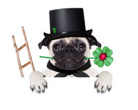 New years eve dog. Pug dog as chimney sweeper with four leaf clover  behind white banner or placard, celebrating and toasting for new years eve, isolated on Stock Photos