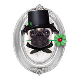 New years eve dog. Pug dog as chimney sweeper with four leaf clover  inside a silver wall frame,  celebrating and  for new years eve, isolated on white Royalty Free Stock Photography