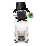 New years eve dog. Pug dog as chimney sweeper with four leaf clover  ,toasting for new years eve, isolated on white background Royalty Free Stock Photography