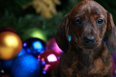 New Years Fir-Tree With Toys Dachshund. Puppy Royalty Free Stock Photo