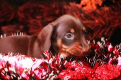 New Years Fir-Tree With Toys Dachshund. Puppy Stock Photography