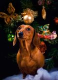 New Years Fir-Tree With Toys Dachshund. Puppy Royalty Free Stock Image