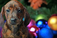 New Years Fir-Tree With Toys Dachshund. Puppy Stock Images
