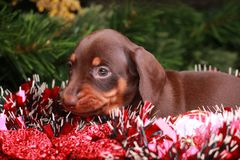 New Years Fir-Tree With Toys Dachshund. Puppy Stock Image