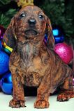 New Years Fir-Tree With Toys Dachshund. Puppy Royalty Free Stock Photos