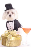 New years Maltese. Isolated on a white background Royalty Free Stock Photography