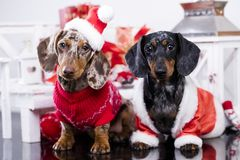 Christmas dachshund puppies. New Years puppy, Christmas dog dachshund Royalty Free Stock Photos