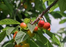 New yellow red cherries on branch Stock Image