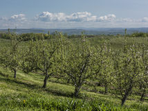 New York Apple Orchard. A sunny Apple orchard in Ulster County, New York with Hudson Valley in background stock image