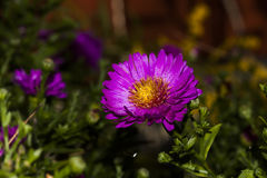 New york aster Stock Image