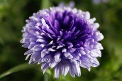 New York Aster Symphyotrichum Novi-belgii Royalty Free Stock Photo