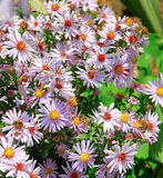 New York aster Royalty Free Stock Photos
