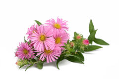 New York aster Royalty Free Stock Images