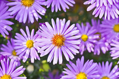 New York asters. Closeup of New York asters (Symphyotrichum novi-belgii) blossoming in autumn park Royalty Free Stock Photography