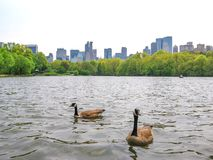 New York Central Park. Two swans swim in the waters of the lake in Central Park with New York City skyline in the background, the United States Stock Images