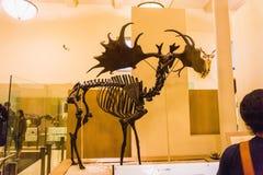 New York City Amerikas förenta stater - Maj 01, 2016: Dinossaur Fossile modell på det amerikanska museet av naturligt Arkivbild