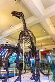 New York City Amerikas förenta stater - Maj 01, 2016: Dinossaur Fossile modell på det amerikanska museet av naturligt Arkivfoton