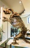 New York City Amerikas förenta stater - Maj 01, 2016: Dinossaur Fossile modell på det amerikanska museet av naturligt Royaltyfri Foto