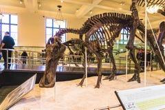 New York City Amerikas förenta stater - Maj 01, 2016: Dinossaur Fossile modell på det amerikanska museet av naturligt Fotografering för Bildbyråer
