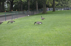 New York City,August 2nd:Gooses in the park from Statue of Liberty island in New York City Royalty Free Stock Photos