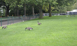 New York City,August 2nd:Gooses in the park from Statue of Liberty island in New York City Royalty Free Stock Images