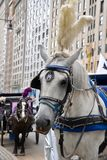 New York City Carriage Horse. A handlsome white carriage horse with white plume waiting by the side of 59th Street in New York City for riders to take into royalty free stock photography