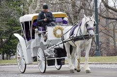 New York City Carriage Horse. A white horse pulls a white carriage through Central Park. The ride is a tradition for tourists and romantic dates in the city Royalty Free Stock Image