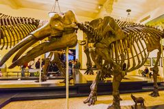 New York City, Estados Unidos da América - 1º de maio de 2016: Modelo de Dinossaur Fossile no museu americano de natural Fotos de Stock Royalty Free