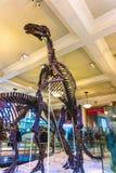 New York City, Estados Unidos da América - 1º de maio de 2016: Modelo de Dinossaur Fossile no museu americano de natural Fotos de Stock