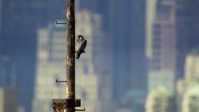 New York City has the highest density of nesting wild peregrine falcon. USA. Wildlife concept royalty free stock photo