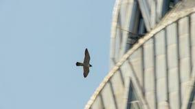 New York City has the highest density of nesting wild peregrine falcon. USA stock image