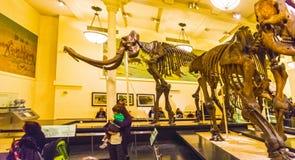 New York City, los Estados Unidos de América - 1 de mayo de 2016: Modelo de Dinossaur Fossile en el museo americano de natural Imagen de archivo