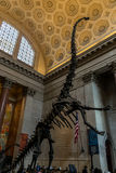 New York City Museum of Natural Sciences Dinosaurs Stock Photos