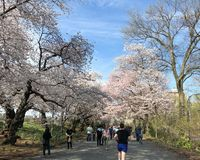 New York City, NY, USA - April 13 2019: Gorgeous cherry blossom in Central Park stock photography