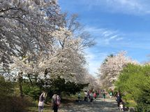 New York City, NY, USA - April 13 2019: Gorgeous cherry blossom in Central Park stock images