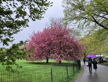 New York City, NY, USA - April 22, 2019: Tourists walking on wet path with purple umbrella near pink blooming tree stock photography