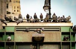 New York City Scape från Pidgeons på en byggnad royaltyfri fotografi
