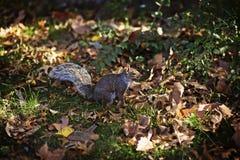 New York - Eichhörnchen lizenzfreies stockfoto