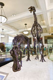 Dinosaur skeletton in the Museum for Natural History in New York City Royalty Free Stock Photo