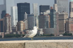 New York liberty island. Seagull Royalty Free Stock Images