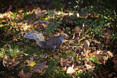 New York - Squirrel Royalty Free Stock Photo