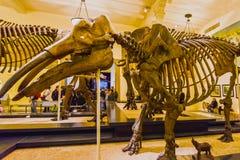 New York, Stati Uniti d'America - 1° maggio 2016: Modello di Dinossaur Fossile al museo americano di naturale Fotografie Stock Libere da Diritti