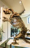 New York, Stati Uniti d'America - 1° maggio 2016: Modello di Dinossaur Fossile al museo americano di naturale Fotografia Stock Libera da Diritti