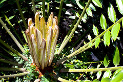 New Young Fresh Leaves Produced By Cycad Plant Stock Images
