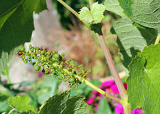 New young grapes on a vine. Stock Photos