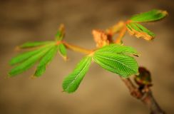 Leaf on chestnut tree Royalty Free Stock Photos