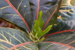 New young sprout of Codiaeum variegatum, purposely blurred leaves on foreground. Focus on the centre Stock Photo